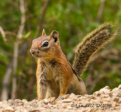 Golden-mantled ground squirrel (Lindell Dillon) Tags: goldenmantledgroundsquirrel rodent wildlife nature colorado pagosasprings lindelldillon