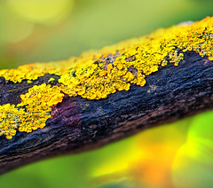 together we are beautiful (gian_tg) Tags: green nature yellow flora fungus lichen algae hmm treebranch cyanobacteria flickrphotowalk macrotextures macromondays