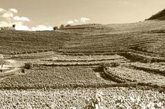 viti (claudio'72) Tags: viti campagna natura nature bianco e nero blackwhite uva vigna trentino rovereto volano italia paesaggio vino wine country filari