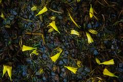 Yellow oleander flowers (El Cajon) Tags: oleander