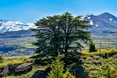 Cedar Tree (Paul Saad) Tags: lebanon cedar cedars tree nature sky mountain outdoor nikon bsharri bcharre snow winter