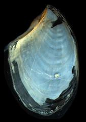 MOL_3870_Aplysia _sp_3870_02_346x491.gif (MaKuriwa) Tags: mollusca gastropoda aplysia aplysiidae aplysiomorpha