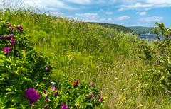 Terrain fleuri au naturel (BLEUnord) Tags: baiestecatherine paysage landscape fleurs flowers champ field fleursdeschamps nature naturel charlevoix fleuve river baie bay provincedequbec