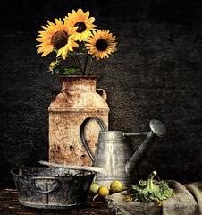 StillLife (clabudak) Tags: stilllife bucket country rustic sunflowers watercan