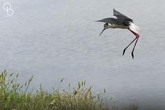 2016-06-14 - Réserve ornithologique du Teich 02 (aaoouumm) Tags: bird teich oiseau échasse réserve ornithologique