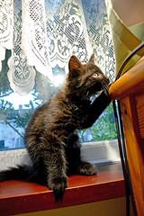 *** (Caulker) Tags: plaingkitten windowsill curtain 17072016
