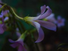 trevosinha (Gigica Machado) Tags: flor fleur flower ful pinkflower common nature natureza naturaleza walkingnature sony alcatel ptalas petals brasil amricadosul southamericaflora flora floral
