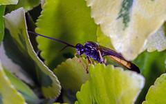Ichneumoninae species. (Mike Serigrapher) Tags: ichneumoninae ichneumon wasp hymenoptera garden woodley stockport pentax 100mm macro insect