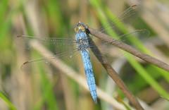 Southern Skimmer (Orthetrum brunneum) male (festoon1) Tags: southernskimmer orthetrumbrunneum dragonfly odonata
