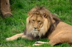 Afrikaanse leeuw - Panthera leo leo - African Lion (MrTDiddy) Tags: afrikaanse leeuw panthera leo african lion bigcat big cat grotekat grote kat feline zoogdier mammal nestor male mannelijk zooantwerpen zoo antwerpen antwerp