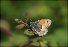 Small Heath (jenny*jones) Tags: 4000 smallheath coenonymphapamphilus nymphalidae brushfootedbutterfly lepidoptera westyorkshire gtbritain meadows heathland canon naturephotography naturalworld summer2016 canon100mm28