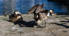 The Cut to the Thames August 2016 (36 of 42) (johnlinford) Tags: birds canon canonefs1022 canoneos7d docklands geese goose london uk urban landscape