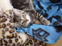 Tiny Mara ! (Mara 1) Tags: cat kitten pet animal indoors face eyes ear whiskers blue blanket bed tabby stripes black grey fawn coat fur