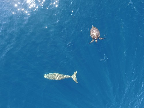 Dugong & Green Turtle Sighted in Alor Waters_rez