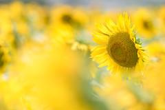 yellow storm (hitohira_) Tags: flower flowers nature bokeh sunflower
