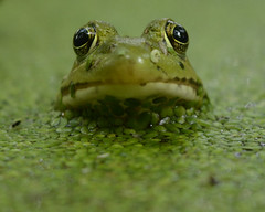 I only have eyes for you (In Explore) (remiklitsch) Tags: dogwood52 dogwood52week35 nature closeup pond green frog nikon remiklitsch oakville ontario color summer eyes