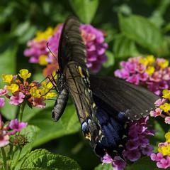 Butterfly_SAF0626-1 (sara97) Tags: butterfly copyright2016saraannefinke flyinginsect insect missouri nature outdoors photobysaraannefinke pollinator saintlouis towergerovepark urbanpark swallowtail