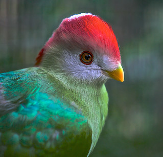 Red Crested Turaco (Tauraco erythrolophus)