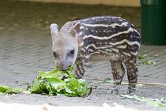 Zuid-Amerikaanse Tapir,Jong_05 (Nick Dijkstra) Tags: artis jong laaglandtapir southamericantapir tapirusterrestris zuidamerikaansetapir