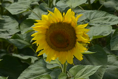 Tournesol  maturit (Flikkersteph -4,000,000 views ,thank you!) Tags: rural landscape nature summer beautiful plantation sunflowers countryside fields clearsky champagneetfontaine prigord france