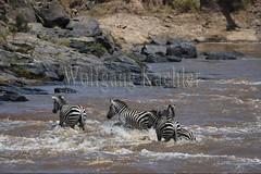 10078288 (wolfgangkaehler) Tags: 2016africa african eastafrica eastafrican kenya kenyan masaimara masaimarakenya masaimaranationalreserve marariver wildlife migration migrating crossing crossingriver crossingstream zebras plainszebrasequusquagga burchellszebra burchellszebraequusquagga burchellszebras