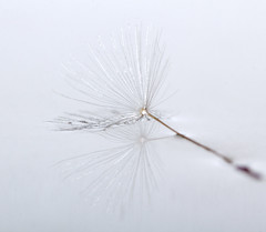 20161021-IMG_7484 Promise of more next year... (grammiev) Tags: seed dandelion water float white reflection