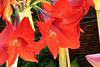 79-310-zweite%2520Serie%2520156-001 (hemingwayfoto) Tags: amaryllis blã¼te blã¼tenblatt blã¼tenstaub blã¼tenstempel blume blumen blumenhandel blumenzucht bunt flora gã¤rtner macroaufnahme natur pflanze rot topfblume topfpflanze zucht zwiebelblume zwiebelpflanze