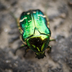 Golden Scarabaeus (Brînzei) Tags: carlzeissjenaflektogon35mmf24mc jenaddr m42 pentaxk30 green insects manualfocus
