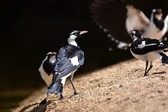 The family (Luke6876) Tags: magpielark bird animal wildlife australianwildlife family