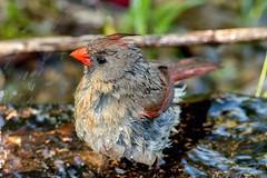 2016 Very Wet Cardinal 7 (DrLensCap) Tags: very wet cardinal montrose point bird sanctuary chicago illinois il northern robert kramer