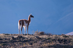Lone Guanaco (Tim Melling) Tags: lama guanicoe guanaco torres del paine chile backlit timmelling