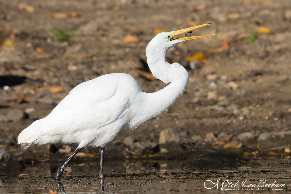 Great Egret levitating fish