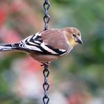 American Goldfinch_nonbreeding thumbnail