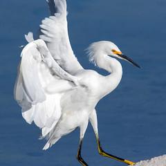 Snowy Egret (Ed Sivon) Tags: american america canon nature lasvegas water wildlife wild western southwest sun shorebird egret clarkcounty clark vegas bird nevada nevadadesert preserve