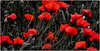 Poppies (yvesgalland) Tags: giroussens france fr occitanie coquelicots