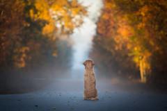 breathe autumn (Tom Landretti) Tags: mist autumn golden fallcolors breatheautumn fall goldenretriever dog