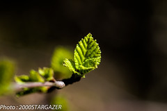Birch (2000stargazer) Tags: trees black macro green nature canon bokeh birch