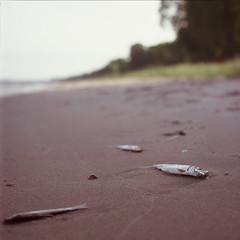 (nothing is ever the same) Tags: summer vacation slr 6x6 film beach mediumformat square death fuji weekend lakemichigan velvia bronica vintagecamera nikkor washedup deadfish lakefront s2 220 expiredfilm 100f sheboygancounty zenza 75mmf28