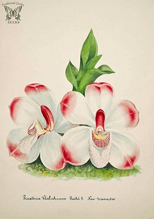 The Klaboch Brother's Pescatorea. Pescatoria klabochorum. Collection of Orchids-aquarelles originales (1850-1870)