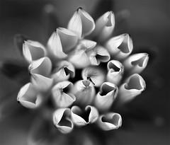 Lonely Hearts Club..... (setoboonhong) Tags: music flower nature up rock club garden mono petals close heart album band beatles lonely 1968 sgt bendigo gazenia