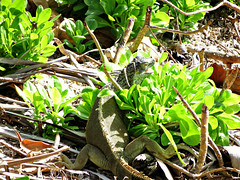 IMG_2693_fix (goatling) Tags: island reptile lizard iguana tropical tropic caribbean cayman carib caymanislands tropics grandcayman caribe westbay westindies britishwestindies gcm201412 201412gcm