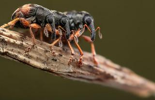 Loosestrife seed weevil