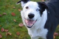 DSC_0140 (2) (sallymorti) Tags: park dog eye dogs tongue happy eyes husky play sheepdog