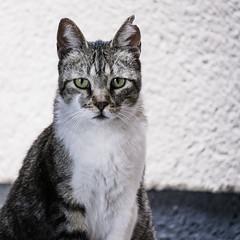Retrato de Gato callejero (Ridire Dorcha) Tags: madrid portrait españa june cat square spain europa europe retrato gato 1x1 azca comunidaddemadrid cuadrado felissilvestriscatus 2013
