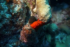 Frogfish 1411205639w (gparet) Tags: ocean sea fish coral photography underwater dive scuba diving buddy resort caribbean reef bonaire buddydive buddydiveresort