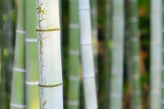 Scratched bamboo (the.bryce) Tags: japan bamboo hiroshima shukkeiengarden