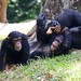 """Chimpansee • <a style=""""font-size:0.8em;"""" href=""""http://www.flickr.com/photos/128593753@N06/15916779193/"""" target=""""_blank"""">View on Flickr</a>"""