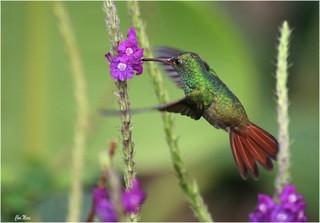 le colibri et l'orchidée