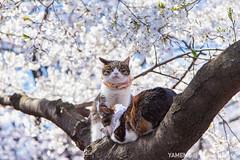 Shutter Killer / Tokyo, Japan (yameme) Tags: travel flowers nature animal japan cat canon eos tokyo ueno  sakura cherryblossoms    uenopark     24105mmlis 5dmarkii 5d2