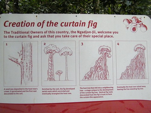Curtain Fig Explanation